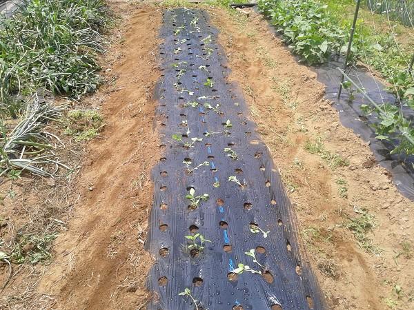 タデアイを畑に植えたところ